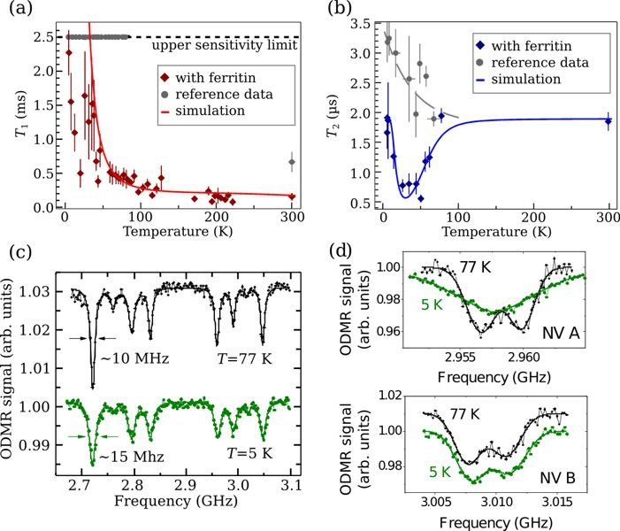 <strong>Fig. 3:</strong> Measurements on NV ensembles and single NV centers interacting with ferritin molecules: (a) Longitudinal relaxation time T<sub>1</sub> (diamonds) and simulation using <em>E</em><sub>A </sub>= 15 meV and <em>B</em> = 0.79 mT (full line). The longest detectable decay time of 2.5 ms is indicated as upper sensitivity limit by the dashed line. (b) Spin coherence time T2 (diamonds) and simulation using <em>E</em><sub>A </sub>= 25 meV and <em>B </em>= 0.39 mT (full line). Reference data without ferritin in (a) and (b) are shown as circles. (c) ODMR spectra acquired at 5 and 77 K. (d) Representative ODMR spectra of single NV centers. Low-temperature line broadening as shown in (a) was observed for ≈20% of the investigated NV centers.